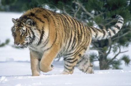 Siberian_tigers1